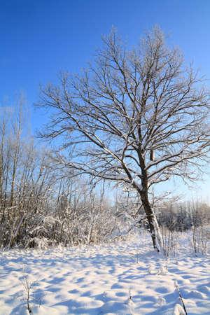 oak in snow on winter field photo