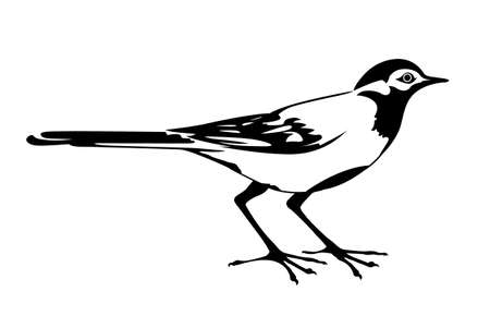 wagtail: vector silhouette of the wagtail on white background