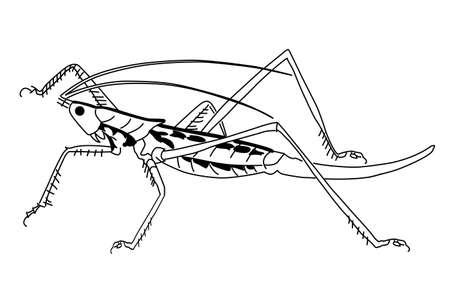 grasshopper: grasshopper on white background