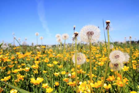 white dandelions on yellow field photo