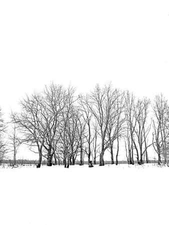 winter field: oak wood on white background