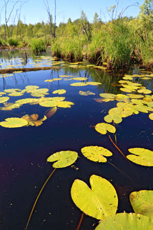 water lilies sheet on lake Stock Photo - 9702903