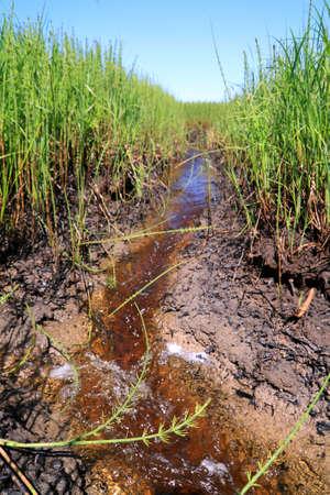 small creek amongst horsetail in marsh Stock Photo - 9702914