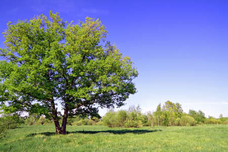 green oak on summer field  photo