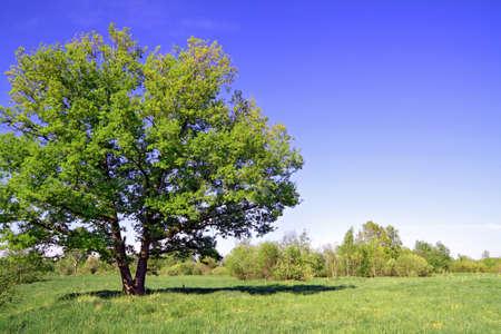 rural area: green oak on summer field