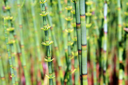 green horsetail in wood marsh photo