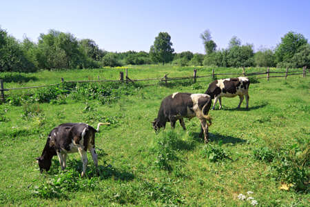 cows on green meadow near old fence Stock Photo - 9867339