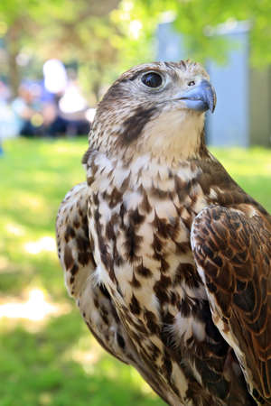 falconidae: falcon Stock Photo