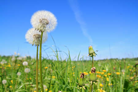 white dandelion on green field Stock Photo