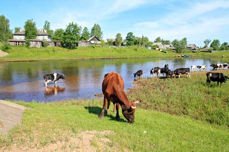 herd cortex on coast river Stock Photo - 10636758