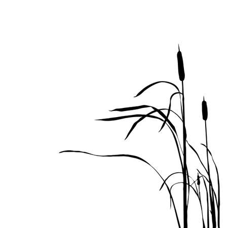 reed stem: silhouette of the reed isolated on white background