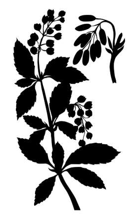 silhouette of the barberry on white background photo