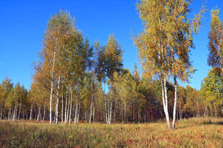 autumn birch wood on blue background photo