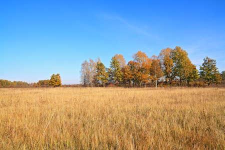 copse: yellow copse on autumn field  Stock Photo