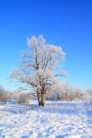 snow oak on winter field photo