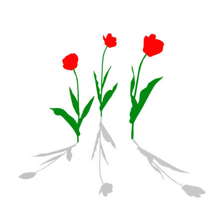 drawing tulip on white background photo