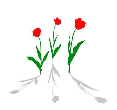 flowerses: drawing tulip on white background