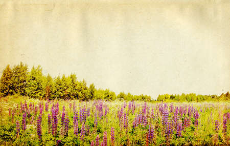 lupines on field on grunge background photo