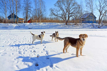 sound bite: stray dogs on ice river  Stock Photo