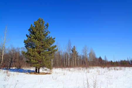 green pine on snow field photo