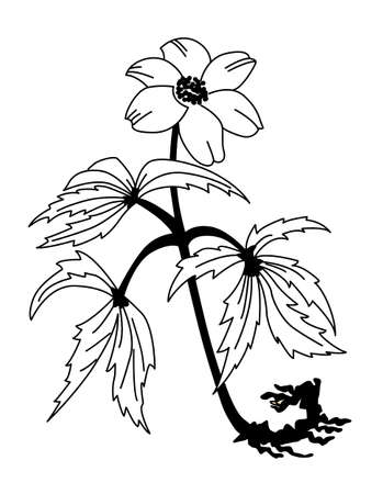 anemones: field flower silhouette on white background, vector illustration