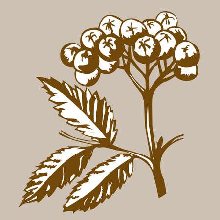 rowanberry: rowanberry on brown background, vector illustration Illustration
