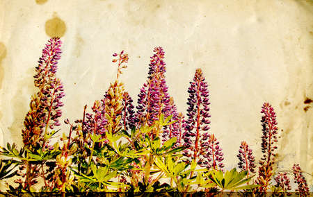lupines: lupines on field on grunge background