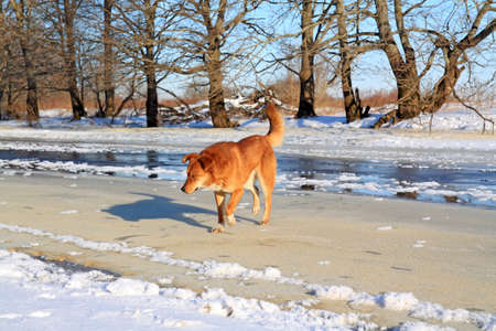 redhead dog on river ice photo