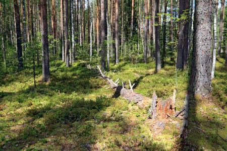 tumbled tree in pine wood Stock Photo - 12598312