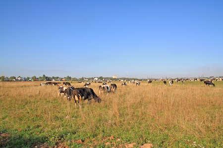 herd cortex on autumn meadow Stock Photo - 12590922