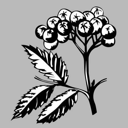 rowanberry: rowanberry on gray background, vector illustration Illustration