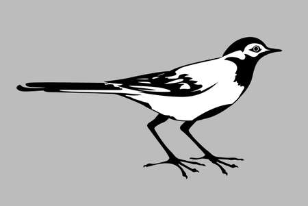 wagtail silhouette on gray background, vector illustration Vector