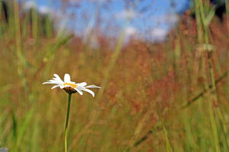 daisywheel: white daisywheel on yellow autumn field