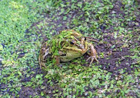 frog in marsh amongst duckweed  photo