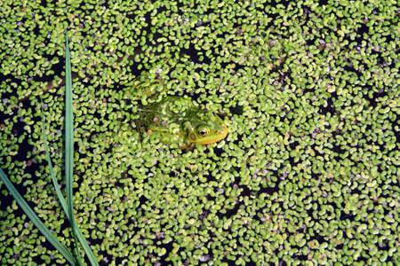 duckweed: frog in marsh amongst duckweed  Stock Photo