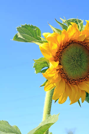 yellow sunflower on celestial background photo