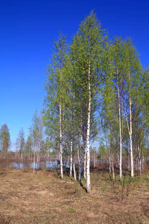 birch copse on springr field  photo