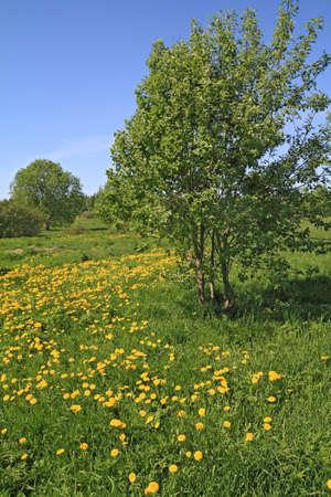 yellow dandelions on green field photo