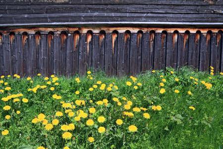 penal institution: dandelions near old wooden rural building
