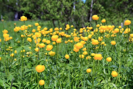 globe-flower on spring green field Stock Photo - 13804234