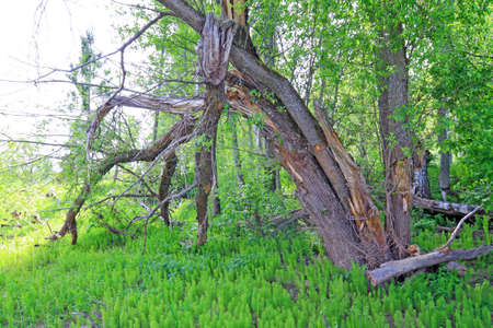 tumbled tree amongst green horsetail Stock Photo - 13804440