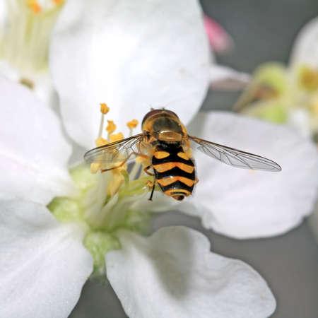 yellow wasp on aple tree flower photo