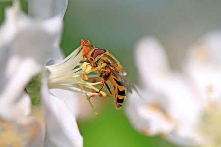 wasp on white flower of the aple trees photo