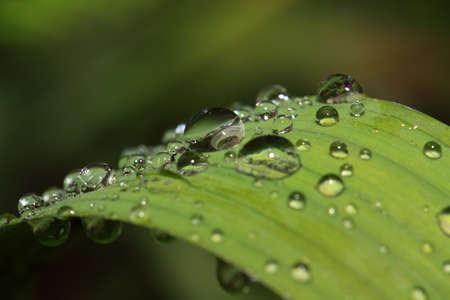 dripped: rain dripped on green herb