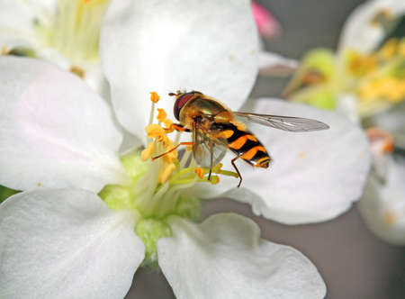 blossom honey: yellow wasp on aple tree flower