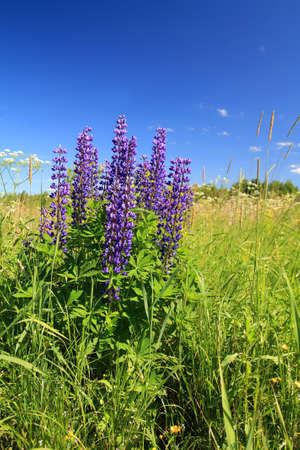 lupines: blue lupines on summer field