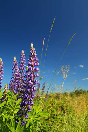 lupines: blue lupines on blue background
