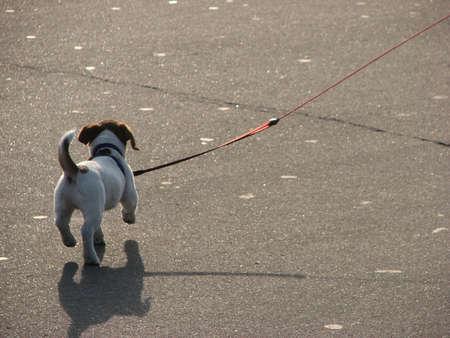 dog on leash: Cachorro  Foto de archivo