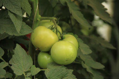 stock photographs: unripe tomatoes in the garden from turkey Stock Photo