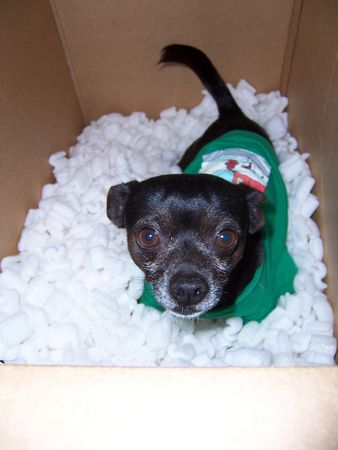 Special delivery. Humorous chihuahua in a box. photo